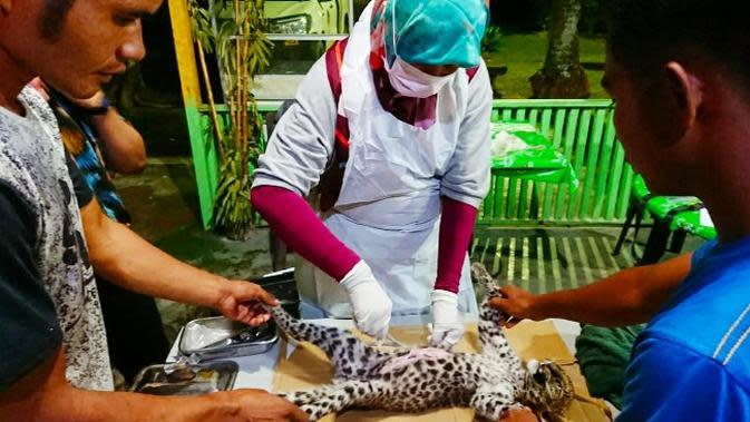 Tim medis melakukan nekropsi terhadap bayi leopard yang mati di Kebun Binatang Kasang Kulim. (Liputan6.com/M Syukur)