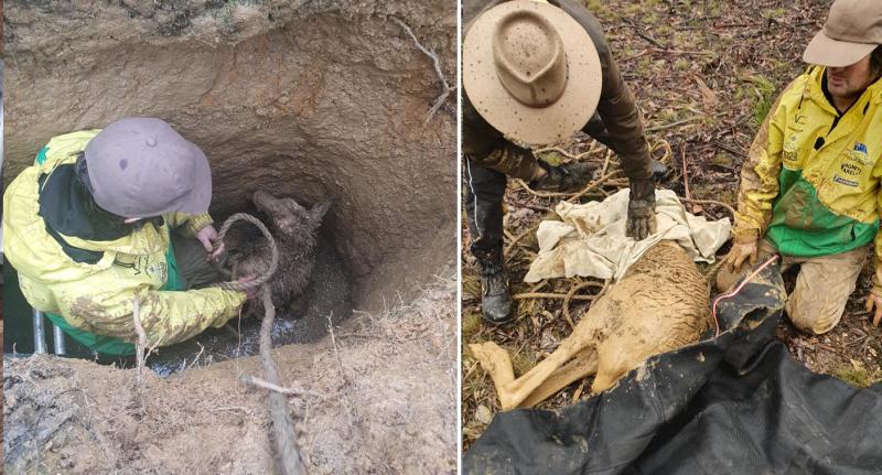 Kangaroo rescued from hidden Ballarat mineshaft