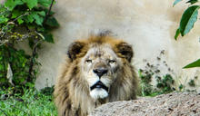 牠低頻吼叫迴盪整園區 動物園解密獨家音響系統