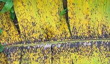 威脅全球250億美元商機的「香蕉葉斑病」如何破解?「硼」有望成為新解方?