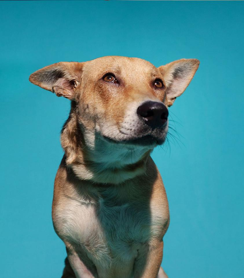 """<p>This adorable labrador retriever mix hails from <a href=""""https://www.thesatoproject.org/"""" target=""""_blank"""">The Sato Project</a>. Sato is an umbrella Puerto Rican term meaning """"mixed breed"""". </p>"""