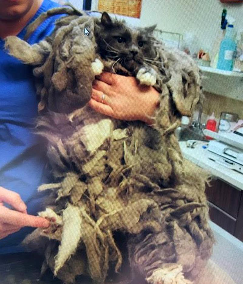 The Gardnerville matted cat was dropped off at an animal welfare. Source: Douglas County Animal Care & Services via Ferrari/Australscope