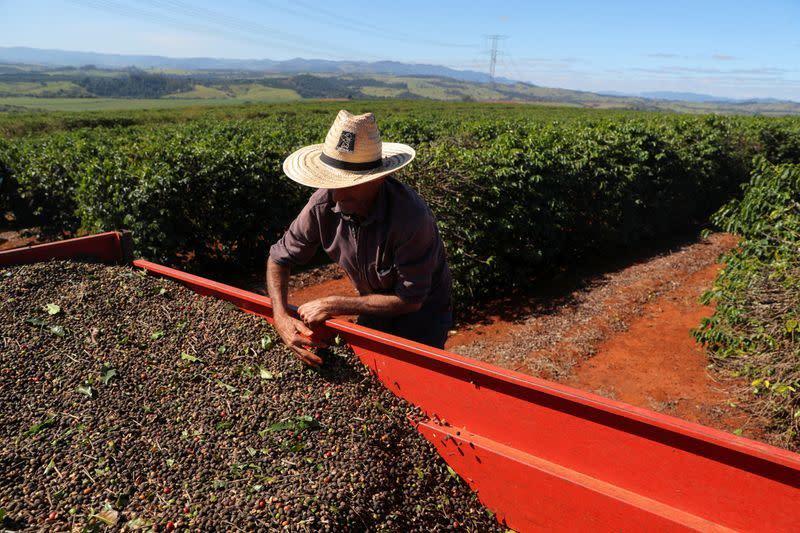 Petani kopi arabika menunda panen, kemungkinan kerugian karena virus corona