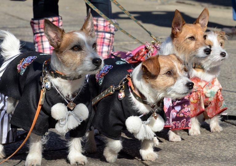 Dogs are pictured after attending a purification ceremony by Shinto priests at a shrine in Tokyo on January 13, 2013