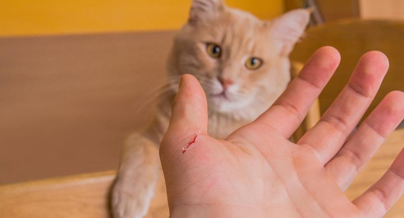 An image of an orange domestic cat that has bitten or scratched a human's hand.