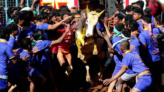 Para peserta mencoba menaklukkan seekor banteng di festival tahunan menjinakkan banteng, Jallikattu, di Desa Avaniyapuram di pinggiran Madurai, Negara Bagian Tamil Nadu, India, Rabu (15/1/2020). Festival yang digelar setiap Januari itu ditujukan untuk menandai panen musim dingin. (Xinhua/Stringer)