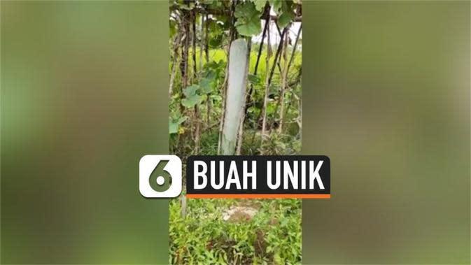 VIDEO: Buah Kundur Unik, Tumbuh Sepanjang 1,5 Meter