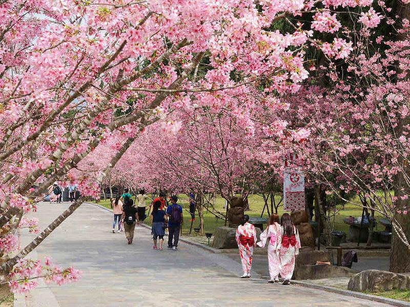 Top 6 武陵農場櫻花季