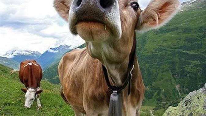Ilustrasi sapi peternakan Swiss. Pasangan peternak tadi mencoba untuk memasukkan ternak mereka ke dalam kandang di malam hari, agar ayam-ayam itu tidak berkokok. (Sumber AFP)