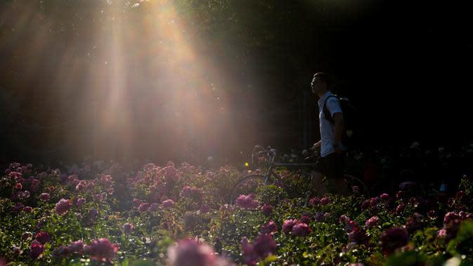 Seorang pria berjalan di Taman Bunga Ratu Mary di Regent's Park di London pada 25 Juni 2020. Inggris pada Kamis (25/6) mengalami hari terpanasnya tahun ini hingga sejauh ini, dengan suhu mencapai 33,3 derajat Celsius di Bandara Heathrow, menurut badan meteorologi. (Xinhua/Han Yan)