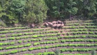 雲南北遷野象仍在昆明徘徊 專家分析大象遷徙原因