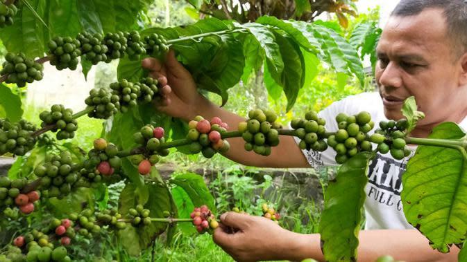 Pohon kopi yang ditanam di areal kompleks kuburan Belanda di Malang tinggal menunggu waktu sebelum dipanen petik merah. Buah kopi nantinya diolah dan diberi merek kopi tulang (Liputan6.com/Zainul Arifin)