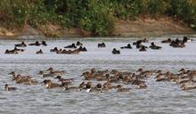 屏東墾丁龍鑾潭雁鴨季 已記錄到15種盛況可期
