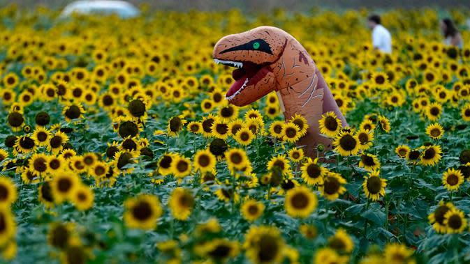 Seseorang dengan kostum melintasi ladang bunga matahari di Grinter Farms, dekat Lawrence, Kansas pada 7 September 2020. Ladang seluas 26 acre yang ditanam setiap tahunnya oleh keluarga Grinter itu menarik ribuan pengunjung selama akhir musim panas saat mekarnya bunga. (AP Photo/Charlie Riedel)