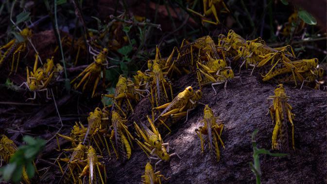 Sekawanan belalang gurun menyerbu Kota Mwingi, Kenya (20/2/2020). Fenomena cuaca ekstrem akibat krisis iklim menjadi normal baru di kawasan Tanduk Afrika saat aktivitas siklon dan hujan lebat menyebabkan peningkatan belalang gurun yang telah memengaruhi kawasan tersebut. (Xinhua/Zhang Yu)