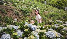 桃園舉辦首屆繡球花季 邀探訪繡球花的故鄉