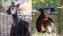 童話故事中的神祕動物!「非洲獨角獸」相貌曝光 全球僅2萬5千隻