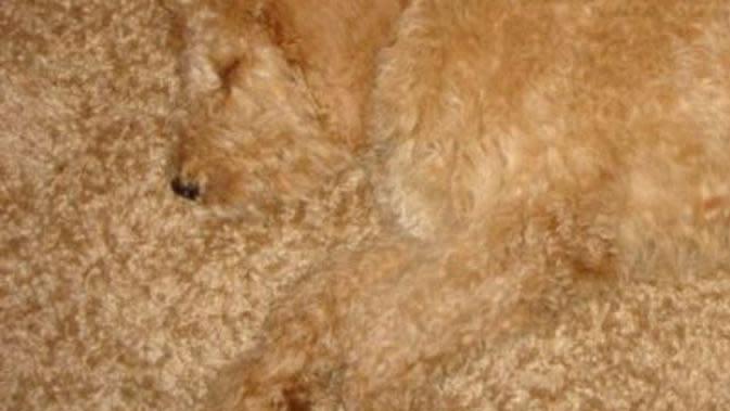 Potret Menggemaskan saat Anjing Berkamuflase Ini Bikin Cengar Cengir (sumber:Barkpost.com)