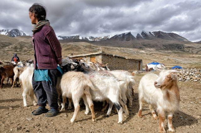 Ladakh's nomads and the future of pashmina wool