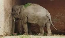 受困35年遍體鱗傷 「世界最孤獨大象」獲釋遷居柬埔寨