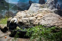 Panda Bei Bei ucapkan selamat tinggal ke AS, balik ke China