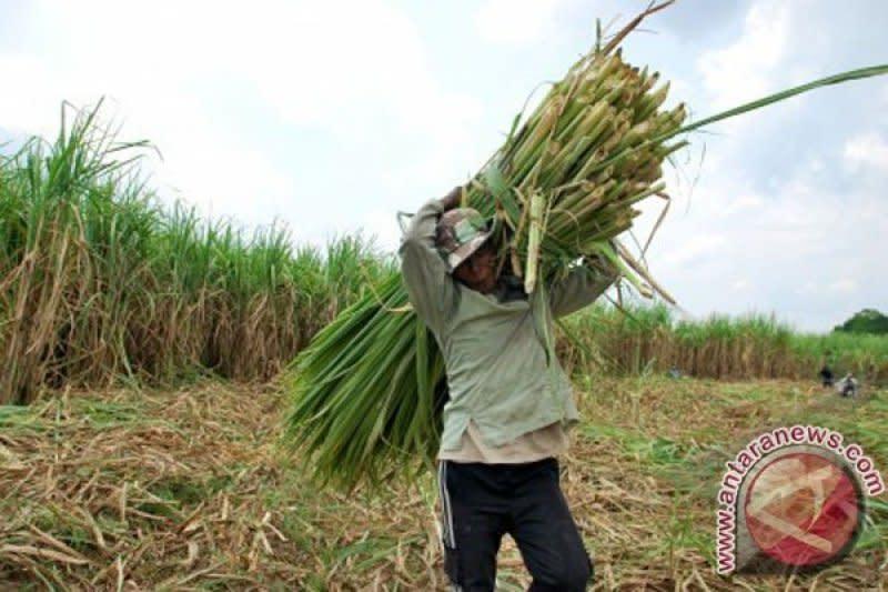 Kementan sebut hanya 30 persen pabrik gula miliki kebun tebu