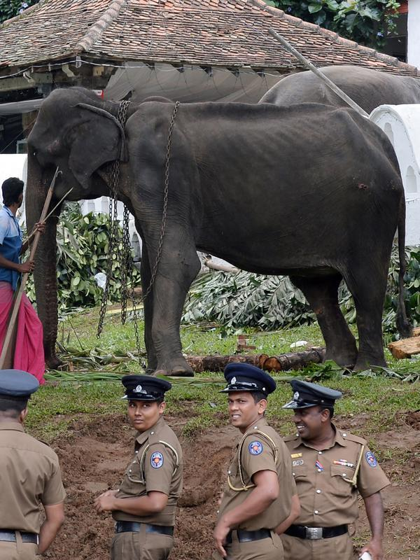 Gajah kurus bernama Tikiri berada di Kuil Gigi, Kandy, Sri Lanka, Selasa (13/8/2019). Tikiri seumur hidupnya dipaksa untuk ikut berparade dalam festival kostum. (LAKRUWAN WANNIARACHCHI/AFP)