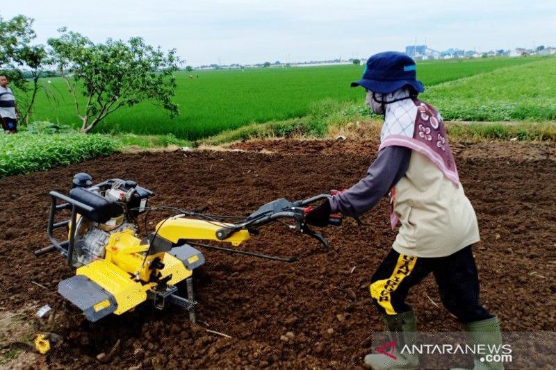 Mahasiswi belajar operasikan traktor tangan, begini kesannya