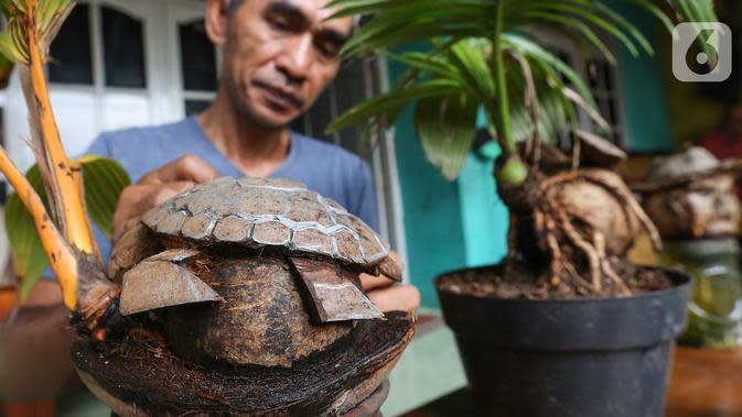 Pengrajin tanaman, Herman Ronda merawat bonsai kelapa berbentuk kura-kura di Jalan Salak, Pamulang, Tangerang Selatan, Senin (13/10/2020). Bonsai dari jenis batok kelapa gading hingga kelapa sayur bisa dibentuk mulai dari jenis binatang hingga kepala manusia. (Liputan6.com/Fery Pradolo)