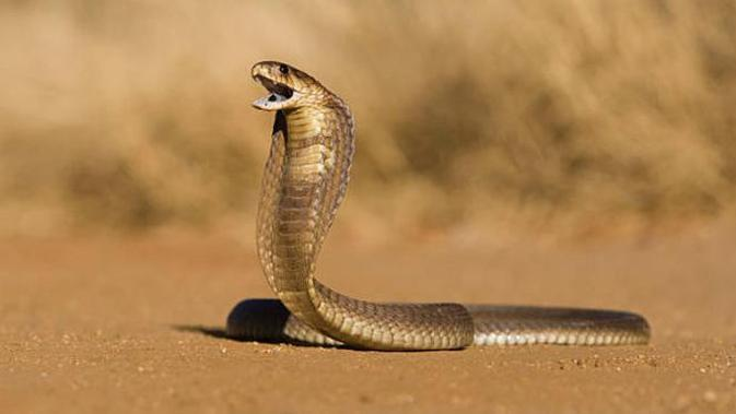 Bikin Deg-degan, Ratu Ular Taklukkan Sepasang King Kobra Raksasa