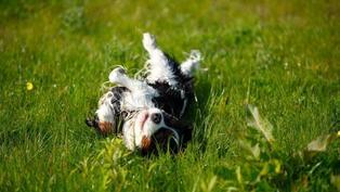 狗狗為什麼喜歡在屎上打滾?