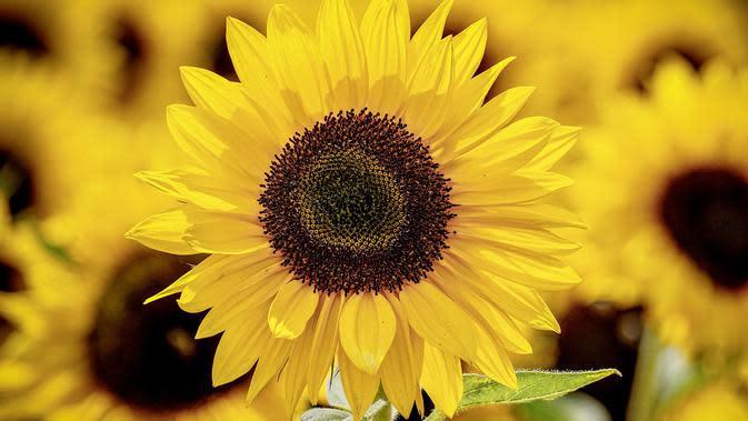 Bunga Matahari (sumber: Pixabay)