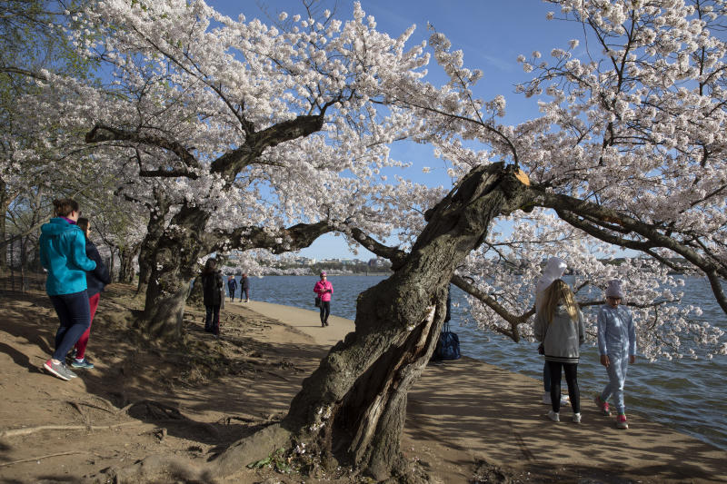 People visit the cherry blossom trees in full bloom at the tidal basin, Sunday, March 22, 2020, in Washington. Sections of the National Mall and tidal basin have been closed to vehicular traffic to encourage people to practice social distancing and not visit Washington's iconic cherry blossoms this year due to coronavirus concerns. The trees are in full bloom this week and would traditionally draw large crowds. (AP Photo/Jacquelyn Martin)