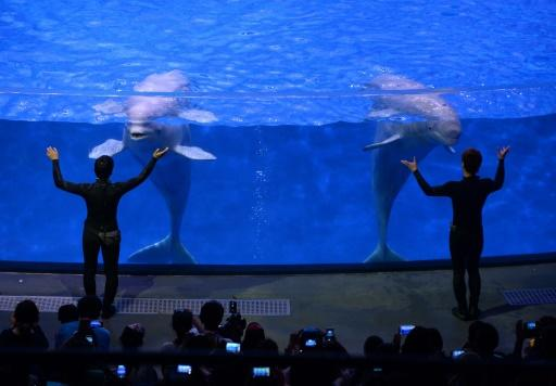 Beluga whales perform at the Chimelong Ocean Kingdom in Zhuhai, China, 29/04/14. Two beluga whales from a Shanghai aquarium are to be flown to a sanctuary in Iceland, giving hope to 3,000 captive cetaceans as the popularity of marine shows declines