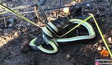 沙蛇纏鬥巨蜥2h「往死裡咬」她嚇呆
