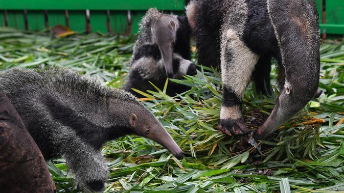 Seekor induk tenggiling menyantap semut saat kedua bayinya bermain di sekitarnya di Taman Safari Chimelong di Guangzhou, Provinsi Guangdong, China pada 10 Juni 2020. Bayi tenggiling kembar jantan dan betina, yang lahir pada 3 Maret tahun ini, diperkenalkan ke publik . (Xinhua/Liu Dawei)