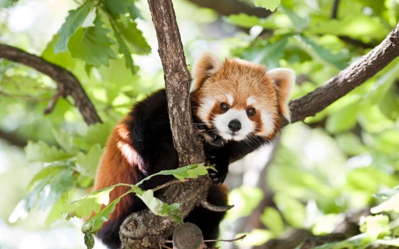 red panda - istock