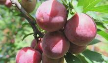 高級梨山「玫瑰李果乾」是詐騙! 果農:現吃都不夠了