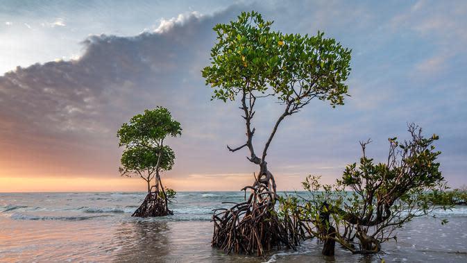 Jaga Kelestarian Lingkungan PGN Tanam 50.000 mangrove di Pesisir Pantai Desa Banyuurip
