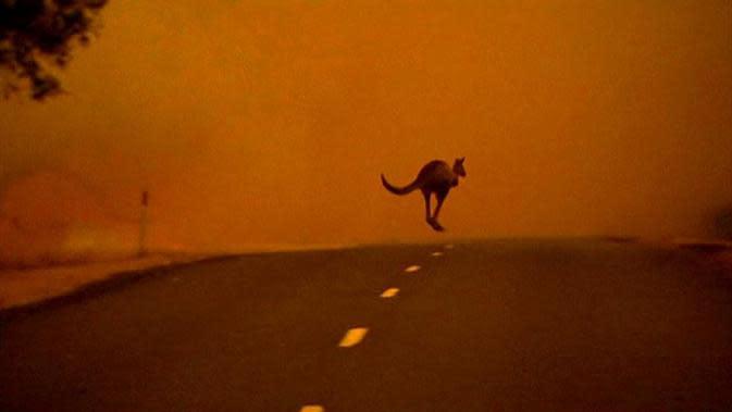 Seekor kanguru melarikan dari kebakaran semak di Victoria Australia. Foto diambil pada 2013 (ABC.Net.AU)