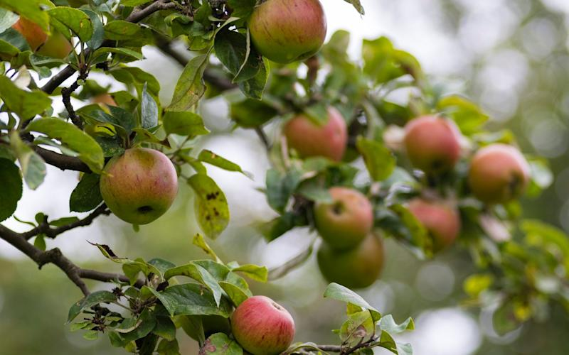 Mcc0072735. Apples for DT Gardening. Picture to illustrate an article about Hill Close Gardens in Warwick, the gardens were let to families who lived above their shops in the high street. Picture shows 'King Of The Pippins' desert apple. Picture date 27/09/2016 - Andrew Crowley for the Telegraph/Andrew Crowley for the Telegraph