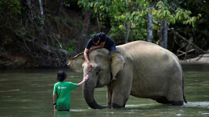 Pawang dan pengunjung menyentuh gajah betina sumatra saat memandikannya di sungai di Conservation Respons Unit (CRU) Sampoiniet, Aceh, Minggu (7/6/2020). Memasuki masa new normal, CRU Sampoiniet kembali membuka wisata konservasi meski membatasi jumlah kunjungan wisatawan. (CHAIDEER MAHYUDDIN/AFP)