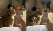 主人伸手討擊掌 貓貓「超不情願」奮力一擊:給你阿!