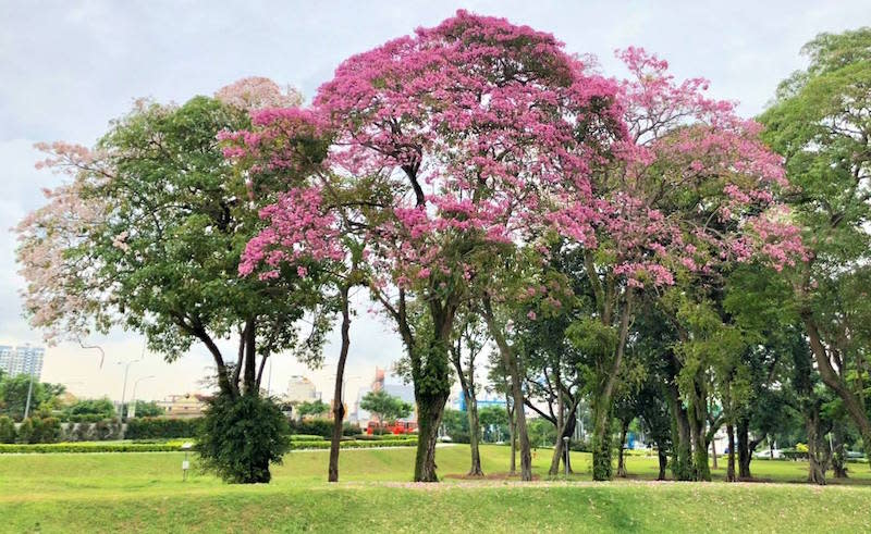 Trumpet Trees at Nicoll Highway. Photo: Tan Chin Peng/NParks Facebook page