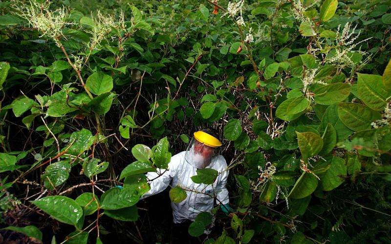 Japanese Knotweed was once an ornamental plant, but now it destroys homes - Alamy