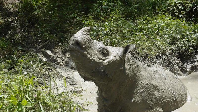 Tam, the last male Sumatran rhino, plays in mud in Sabah May 2014 in this picture obtained from social media on May 27, 2019. — Reuters pic