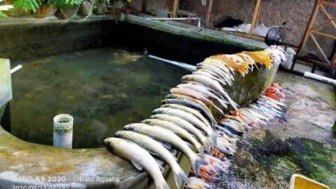 Lupa Nyalakan Pompa Air, Puluhan Ikan Koi Milik Pria Ini Mati Semua