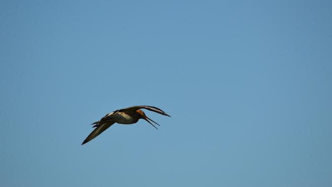 Ilustrasi burung godwit (@publicdomainpictures/Pixabay).