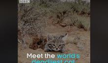 《BBC》認證「地表最致命的貓」:世界最小的非洲黑足貓,竟是高命中率的獵食好手