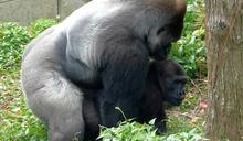 金剛猩猩家族報喜!寶寶當猩爸又做阿公 完勝迪亞哥